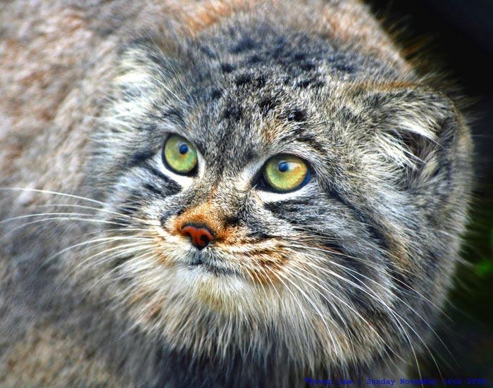 il gatto Manul, o Gatto di Pallas (dinosoria.com)