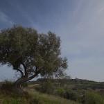 Tarquinia panorama con olivo