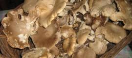 Funghi ferlengi