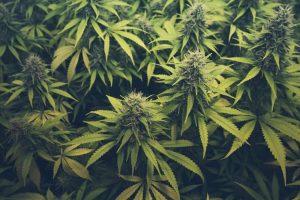 marijuana cannabis thc cbd