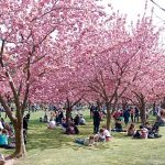 Cherry Blossom Brooklyn Botanic Garden